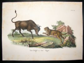 Schinz 1845 Antique Hand Col Print. Buffalo & Tiger 22
